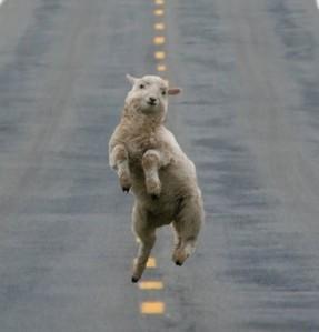 dancing sheep