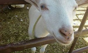 320px-A_Goat's_Face